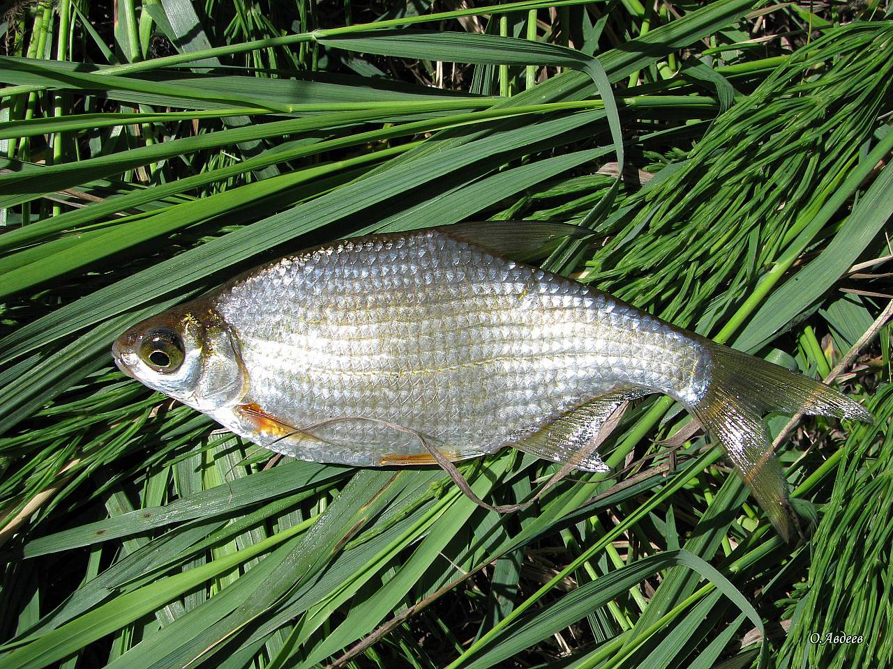 Рыбы пензенской области